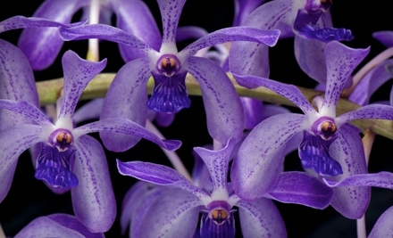 Pacific Orchid Exposition on Sun., March 6 at 10AM - Pacific Orchid Exposition in San Francisco