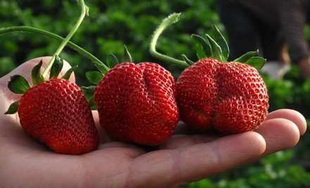 Strawberry-Picking Outing for 2 People (an $18 value) - Jones Orchard in Millington