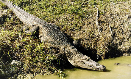 Two adult admissions to the alligator-farm show and airboat tour - Everglades Alligator Farm in Florida City